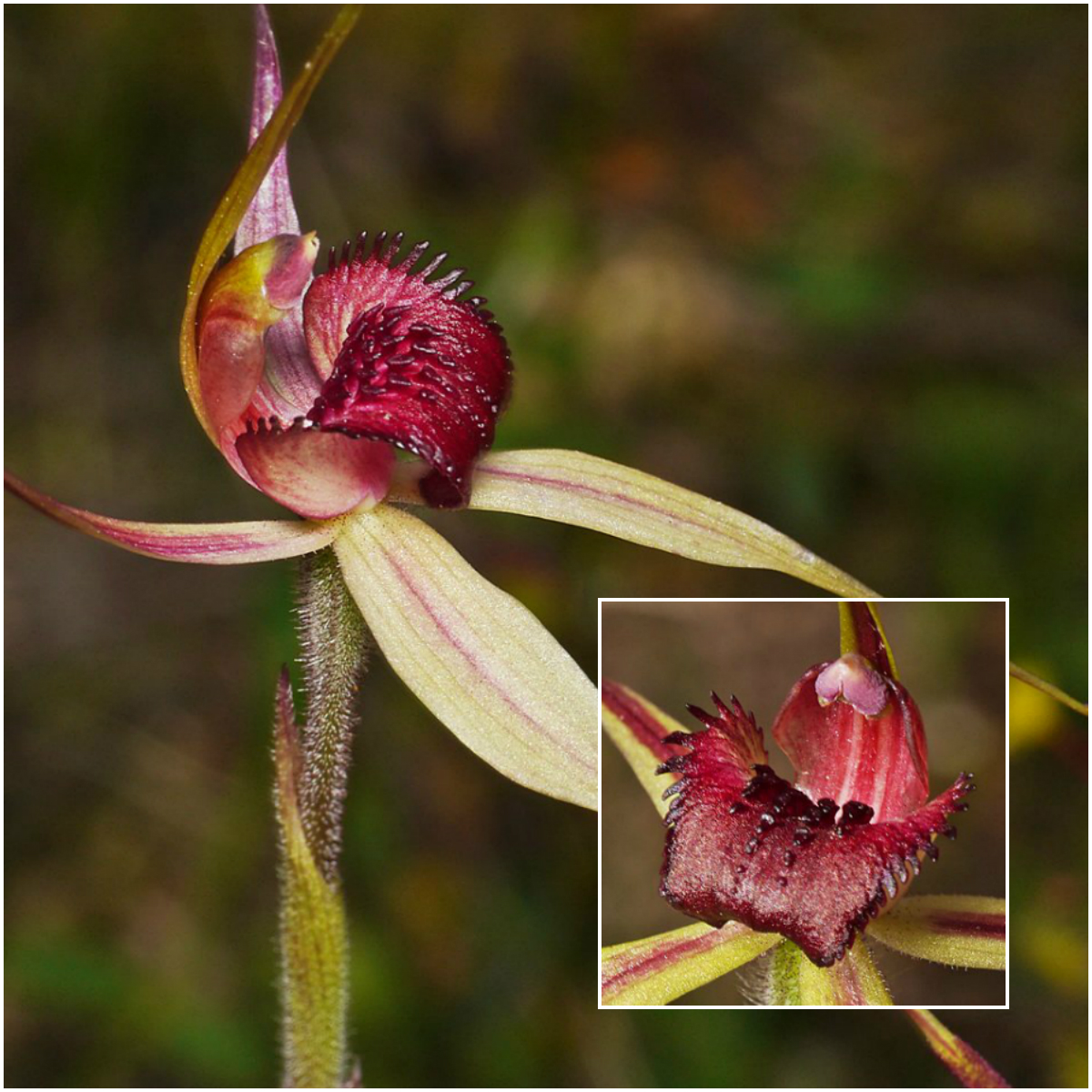 6 threatened and endangered australian flowers frankston spider orchid izmirmasajfo