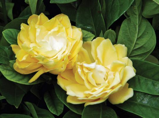 6 yellow flowers httpstarrosesandplantsplantsshrubsgardenia jasminoides golden magic mightylinksfo