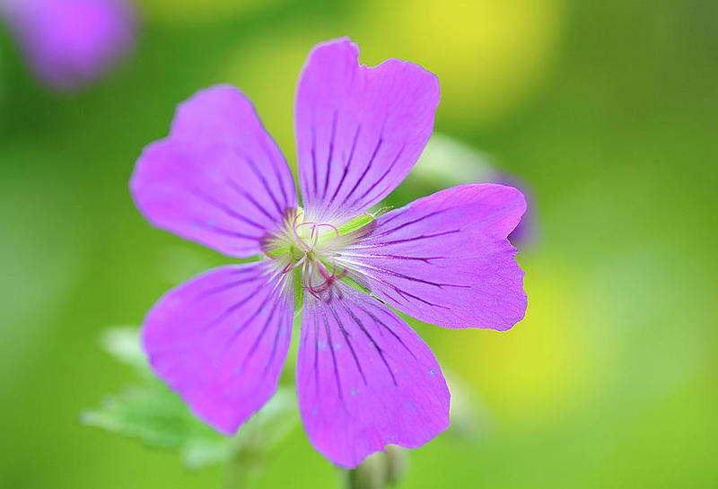 Geraniums are edible and can be used in the kitchen