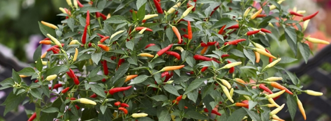 My First Chilli Plant – Hoselink