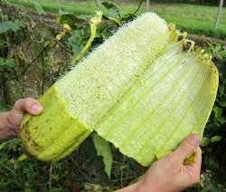 dried loofah having skin removed