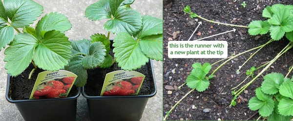 Strawberry plants in pots and plant runners