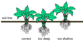 illustration indicating the correct soil line position