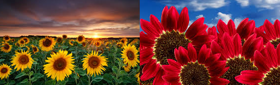 Yellow and red sunflowers in fields
