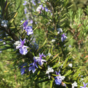 Rosemary helps to improve indoor air quality