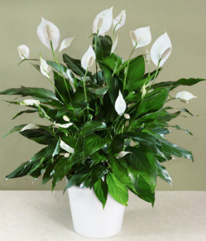 Peace Lily helps to improve indoor air quality