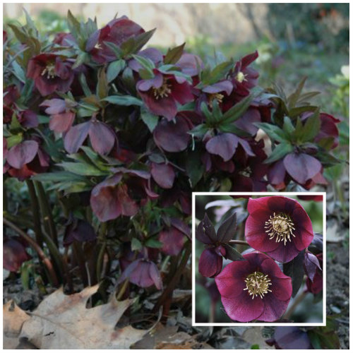 Lenten Rose (Helleborus Orientalis) is a shade loving plant