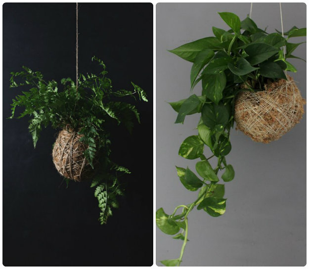 Individual Kokedama moss balls hung from the ceiling