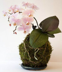 Kokedama moss ball with an orchid plant