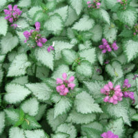 Lamium - green and silver leaves with small pink flowers