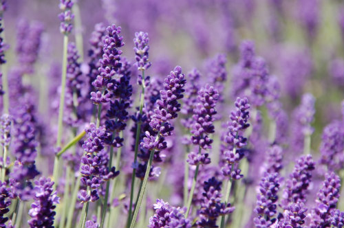 Lavender which can be infused in hot water for drinking