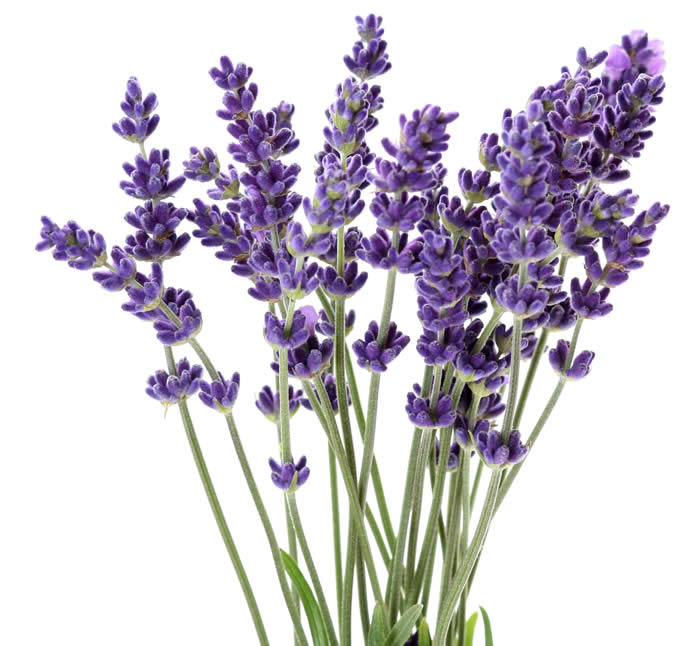 Lavender is edible and can be used in the kitchen