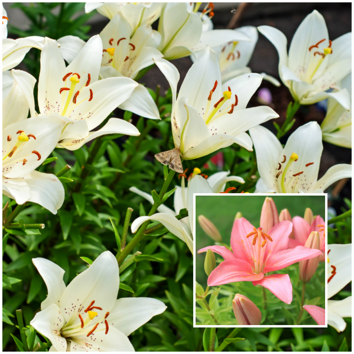 types of lily