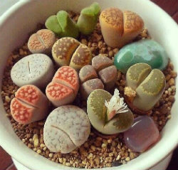 Lithops aka living stones - selecting succulents