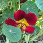 Recipes for using nasturtiums in the kitchen