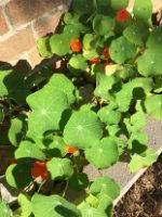 Home grown Nasturtium flowers