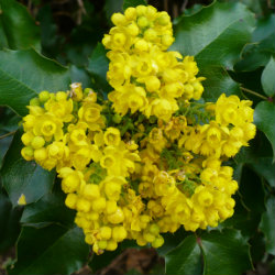 Yellow flowers - Mahonia