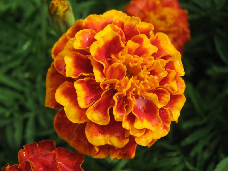 Marigolds are edible and can be used in the kitchen