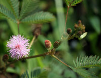 Mimosa Pudica flower and leaves