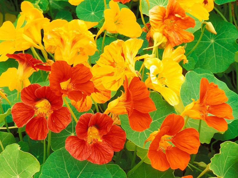 Nasturtiums are edible and can be used in the kitchen