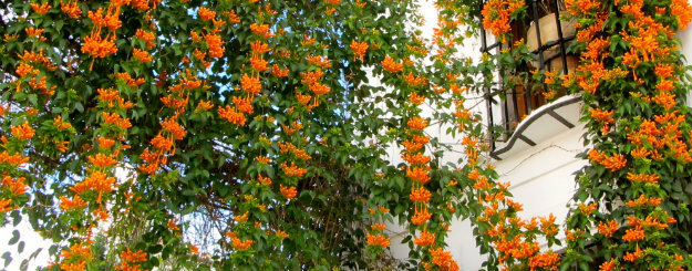 orange trumpet creeper growing on a house climbing plants are - Climbing Plants