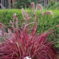 Pennisetum - purple/red leaf grass