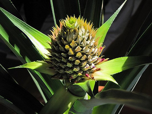 Young Pineapple growing in the sunshine