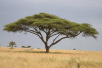 Acacia tree in the plains of Africa