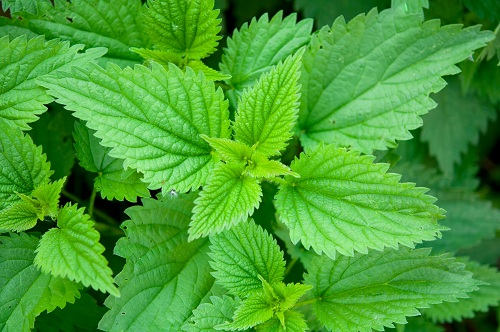 Close up of stinging nettles