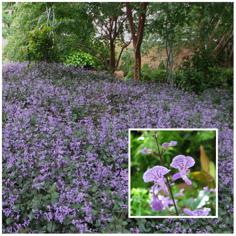 Mona Lavender (Plectranthus) is a shade loving plant