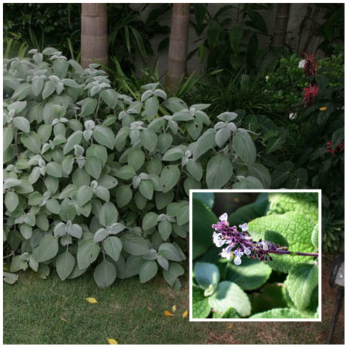 Silver Spurflower (Plectranthus Argentatus) is a shade loving plant