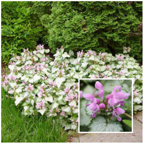 Dead Nettle 'Pink Pewter' (Lamium Maculatum) is a shade loving plant