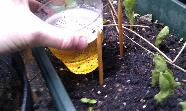 planting a beer trap to capture slugs and snails