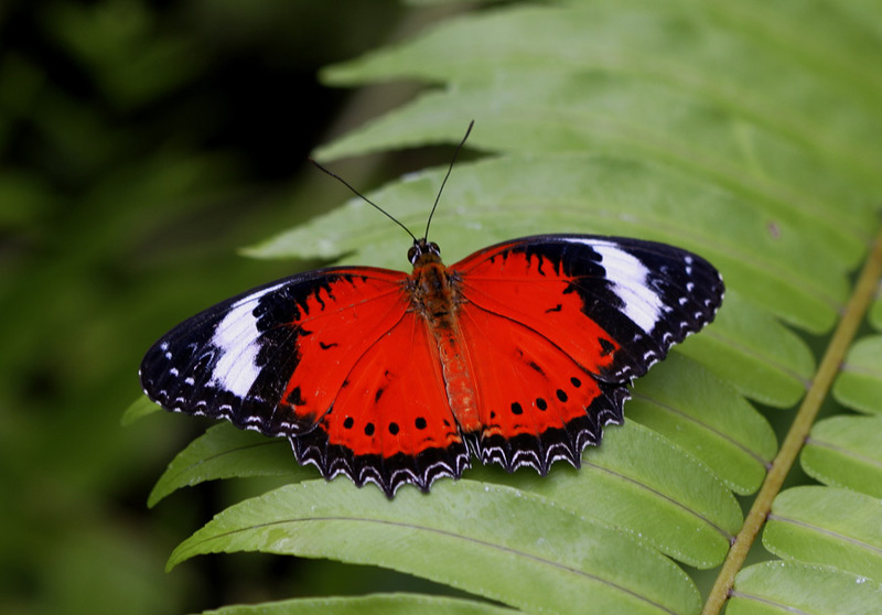 Red Lacewing Butterfly - Red, Black and White