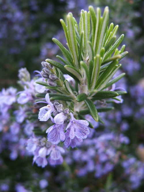 Rosemary which can be infused in hot water for drinking
