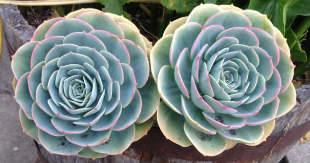 Two beautiful big succulents in a pot