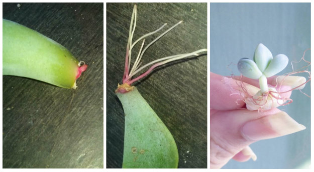 Three stages of succulent leaf propagation