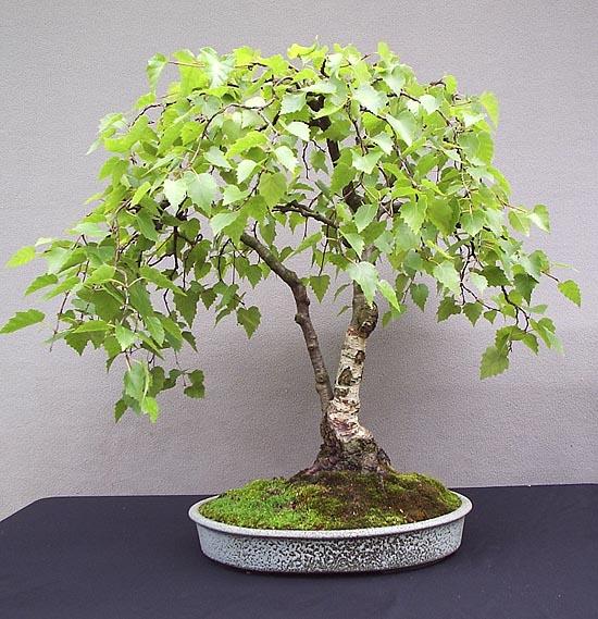 Silver Birch Bonsai Tree