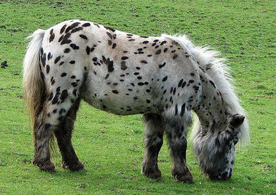spotted shetland pony