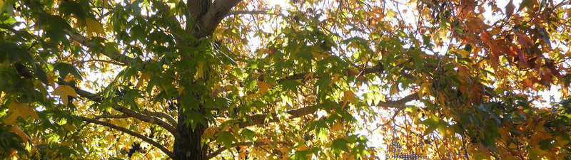 Autumn tree leaves changing colour