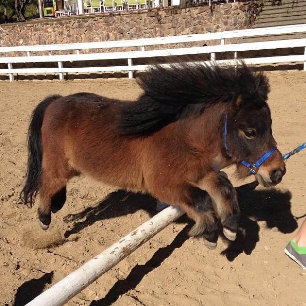 jumping shetland pony
