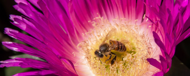 Australian Bee on a Pink Pigface flower