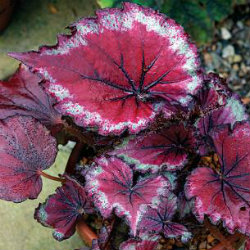 Begonia Rex - Stained Glass - red leaves with a white edging