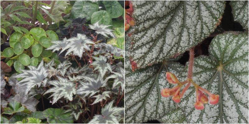 Foliage begonia species