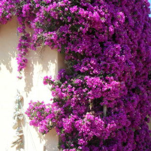 Bougainvillea growing up against a wall