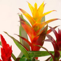 Bromeliads - yellow, orange and red leaves