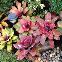 Bromeliads - deep reds and purples leaves