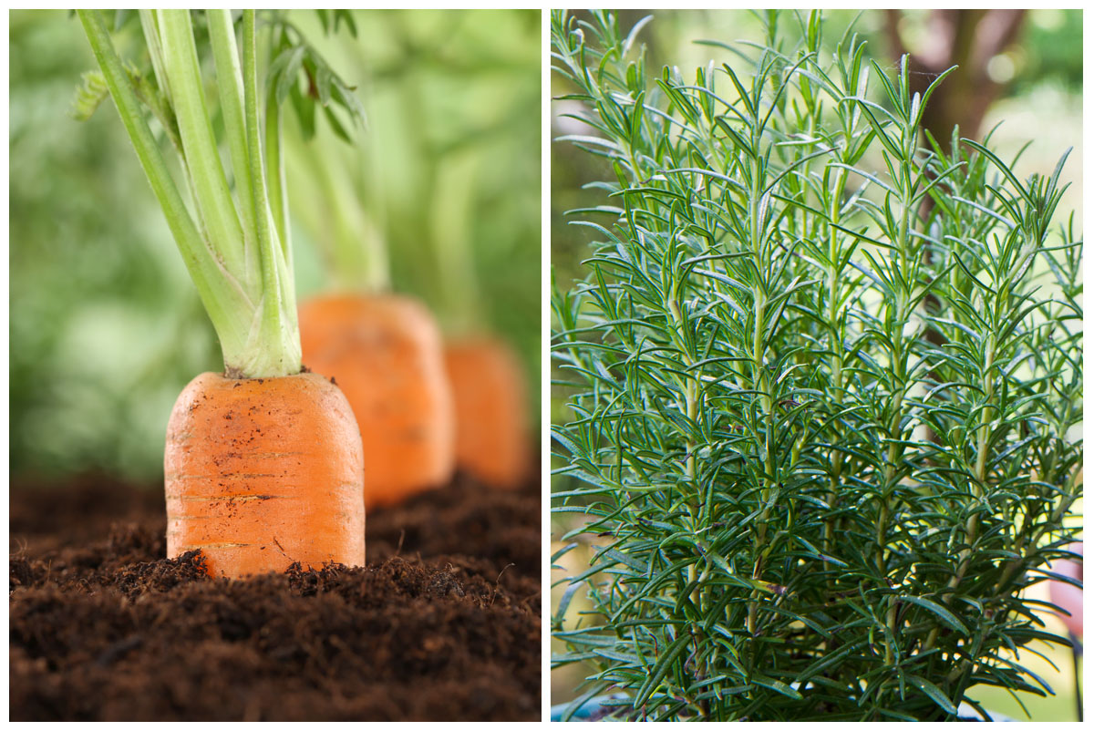 Carrot and rosemary