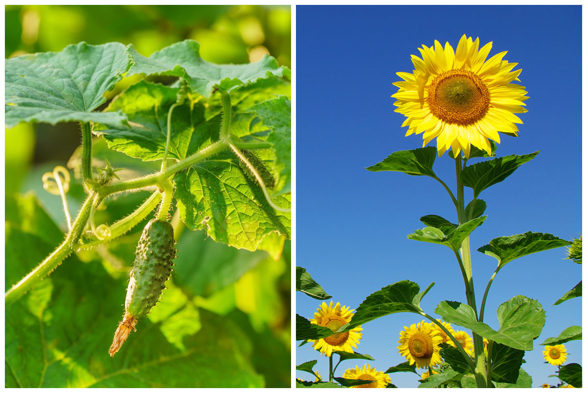 Cucumber and sunflower