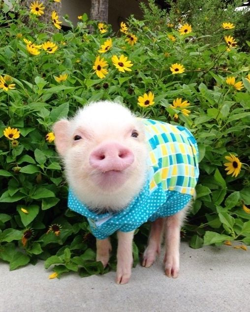 Mini pig in colorful outfit